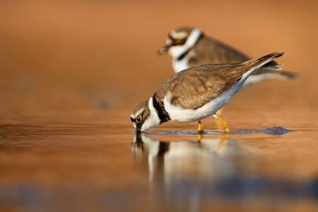 waders: Dos peque�os chorlos anillada en el humedal en el wintersite. Foto de archivo
