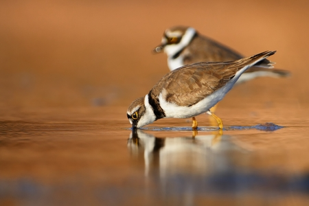 ringed: Two Little Ringed Plovers in the wetland at the wintersite.