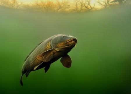 Common Carp - Cyprinus carpio under water with beautiful background. Standard-Bild