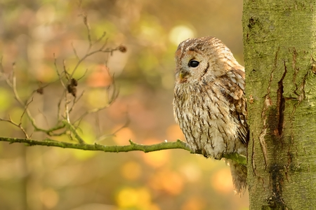 tawny owl: Tawny Owl (Strix aluco) sitting on the branch in autumn
