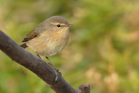 insectivorous: Canary Islands Chiffchaff - Phylloscopus canariensis sitting on the branch on the island Tenerife