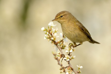 ornitology: Common Chiffchaff (Phylloscopus collybita) sitting on the blooming branch with flowers, light (white) background, portrait