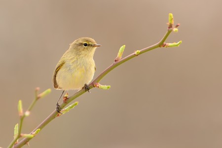 ornitology: Common Chiffchaff (Phylloscopus collybita) sitting on the blooming branch with flowers, light (cream) background, portrait