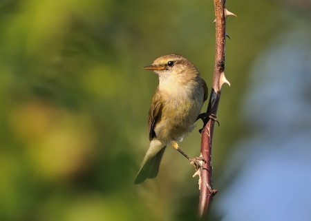 ornitology: Common Chiffchaff (Phylloscopus collybita) sitting on the spring branch, green isolated background, portrait, singing