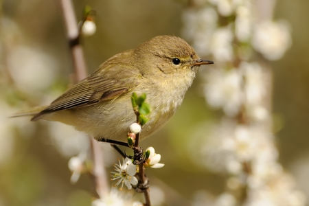 ornitology: Common Chiffchaff (Phylloscopus collybita) sitting on the blooming branch with flowers, light (white and green) background, portrait
