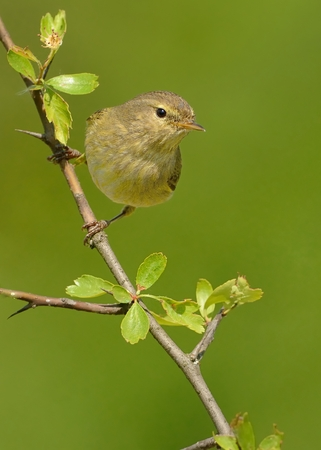 ornitology: Common Chiffchaff (Phylloscopus collybita) sitting on the spring branch, green isolated background, portrait