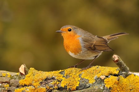 erithacus: European Robin - Erithacus rubecula sitting on the branch, perching, blue sky in the background, in winter