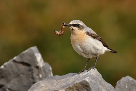 Northern Wheatear (Oenanthe oenanthe) with the caterpillar during its chicks feeding. Sitting on the stone on rocky place.