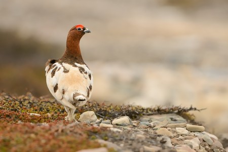 tundra: Willow Ptarmigan in the norwegian tundra.