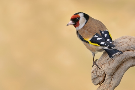 goldfinch: European Goldfinch (Carduelis carduelis) sitting on the branch, isolated from background