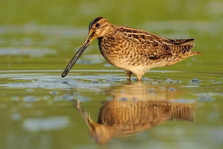 wader: Common Snipe - Gallinago gallinago wader feeding in the green water, lake in the south or Moravia Stock Photo