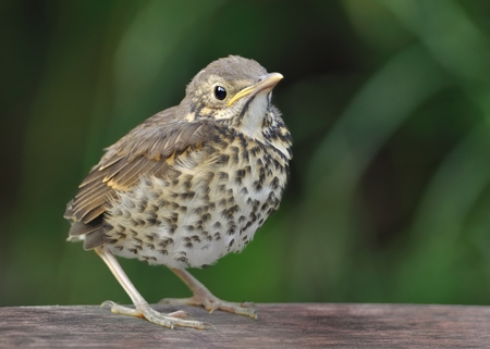 bird song: Song Thrush - Turdus philomelos juvenile, youngster, chick, young bird.
