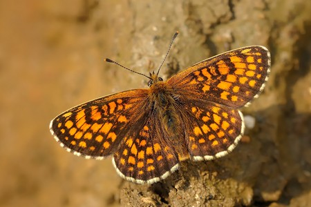 loam: The heath fritillary (Melitaea athalia) sitting on the ground. Orange and brown butterfly on the brown loam.