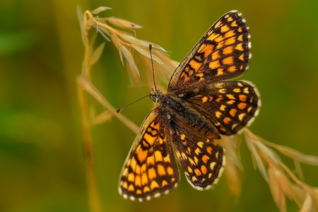 haulm: The heath fritillary (Melitaea athalia) sitting on the grass blade with green background. Brown and orange butterfly on the haulm.