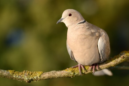 Eurasian Collared-Dove - Streptopelia decaocto sitting on the branch with the green background Standard-Bild