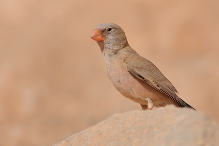 song bird: Trumpeter Finch - Bucanetes githagineus sitting on the rock, beautiful pink and gey song bird living in deserts and semi-deserts of the north Africa, Canary Islands.