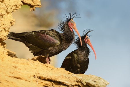 beaks: Two black Walldrapps (Geronticus eremita) with pink skinny beaks sitting on the rock in Spain with blue background.
