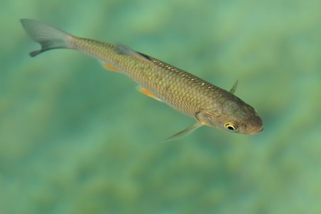 pollard: The european chub (Squalius cephalus) in the clean blue water. Brown fish in the water with blue background.
