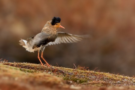 ruff: Ruff - Philomachus pugnax male flying in breeding plumage in the lek in Norway.