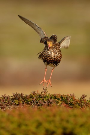 ruff: Ruff - Philomachus pugnax in the lek in Norway.
