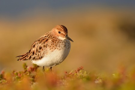 Little Stint (Calidris minuta) on the orange meadow from Norway.