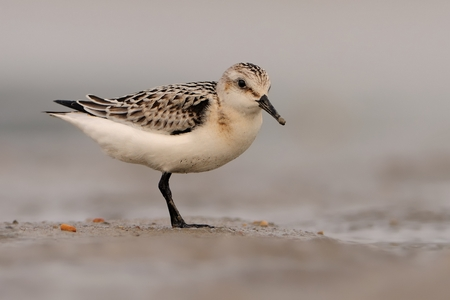 waders: Sanderling - Calidris alba staying on the beach in sand and feeding