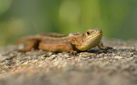 viviparous: The viviparous lizard or common lizard (Zootoca vivipara) sitting on the stone with green background. Brown lizard on the grey stone.