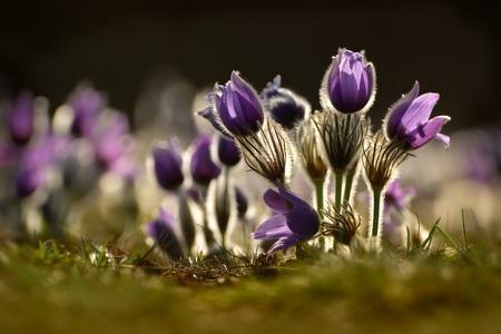 pulsatilla: Pulsatilla grandis growing in the meadow in backlit. Stock Photo