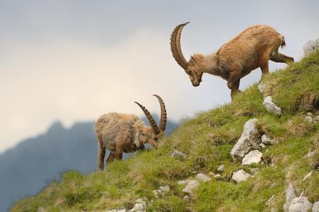 capra: Capra ibex - Alpine Ibex in Slovenia, Alps