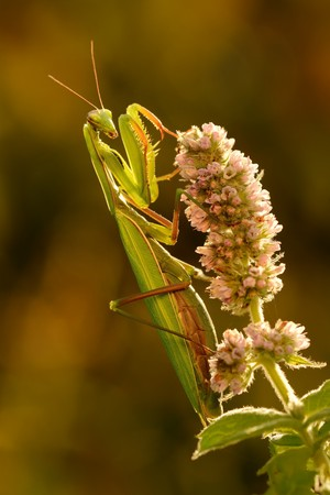 european mantis: European mantis (Mantis religiosa) sitting on the mentha bloom. Portrait of the beautiful mantis in the evening sunlight sitting on the purple blossom with colorful background.