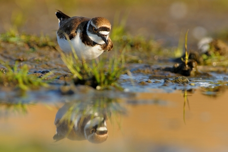 plover: Little Ringed Plover - Charadrius dubius in the lake of fresh water