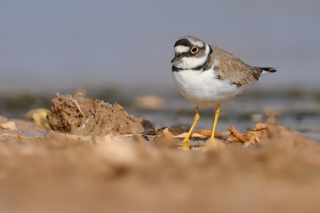 ringed: Little Ringed Plover - Charadrius dubius in the lake of fresh water