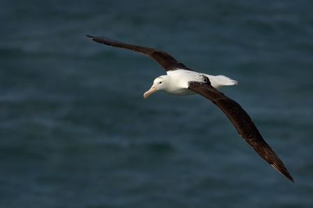 Diomedea sanfordi - Northern Royal Albatros flying above the sea in New Zealand near Otago peninsula, South Island