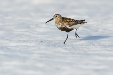 Dunlin - Calidris alpina on the snow in Norway