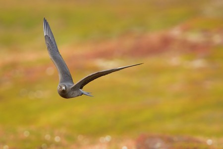 Parasitic Jaeger (Stercorarius parasiticus) captured in flight. Big brown bird flying over the meadow in Norway near seacost with orange background. Two long grey wings and tail.