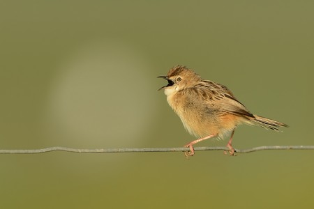 Singing Zitting Cisticola (Cisticola juncidis) sitting on the wire in the morning in Spain.                     Banco de Imagens