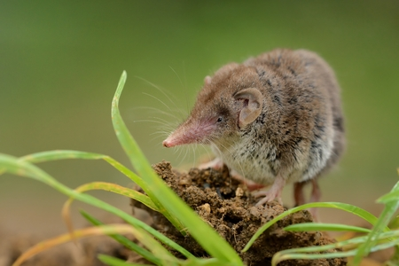 Lesser white-toothed Shrew (Crocidura suaveolens) on loam. Little insect-eating mammal with brown fur standing on meadow in garden. Background is green and fuzzy.               Stock Photo