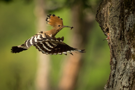 Eurasian Hoopoe (Upupa epops) feeding it's chicks captured in flight. Stock Photo