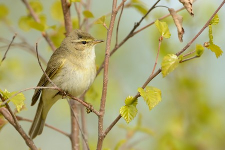 Willow Warbler (Phylloscopus trochilus) sitting on the willow. Little songbird in the scrub. Light spring. Stock Photo