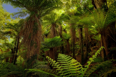 Landscape New Zealand - primeval green forest in New Zealand with ferns                Stock Photo