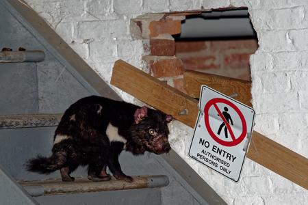 Sarcophilus harrisii - Tasmanian Devil in the night and day in Australia, Tasmania