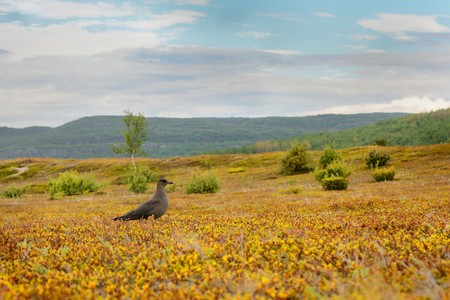 Parasitic Jaeger (Stercorarius parasiticus) captured  in the tundra. Big brown bird in meadow in Norway near seacost with orange background.