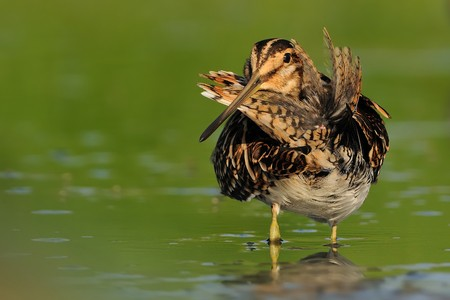 Common Snipe - Gallinago gallinago wader feeding in the green water, lake in the south or Moravia Stock Photo - 101293000