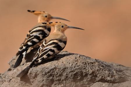 Eurasian Hoopoe - Upupa epops the pair sitting on the rock