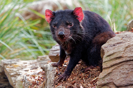 Sarcophilus harrisii - Tasmanian Devil in the night and day in Australia Imagens
