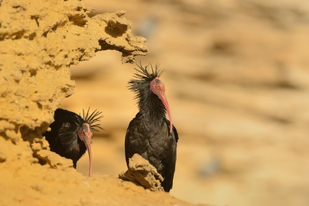 Bald Ibis - Waldrapp (Geronticus eremita) sitting on the rock in spain. In the background is yellow rock and blue sky. Black bird with pink skinny head and beak sits in the sandstone rock.                Stock Photo