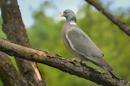 Common Wood-Pigeon - Columba palumbus sitting on the branch