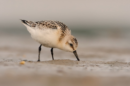 Sanderling - Calidris alba staying on the beach in sand and feeding