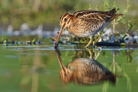 Common Snipe - Gallinago gallinago wader feeding in the green water, lake in the south or Moravia Stock Photo - 101293101