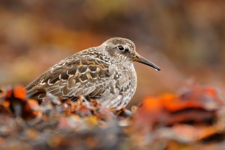 Purple Sandpiper - Calidris maritima sitting on the red algae in the seacoast.
